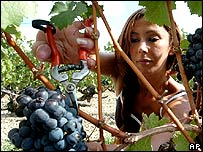 Woman picks grapes in Bordeaux region
