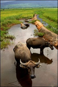 Rice field with water buffalo. Image: Irri