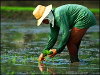 Planting rice. Image: Irri