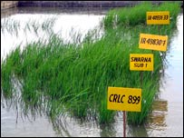 Experimental rice plants (Image: G Vergara/Irri)