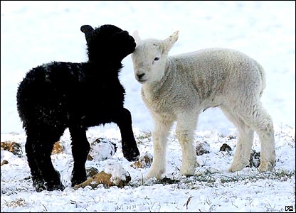 Lambs in Wetherby during snow in March