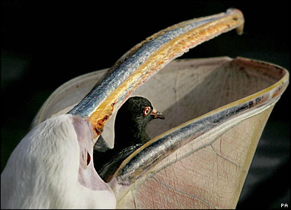 A pelican swallows a pigeon in a London park