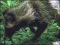 A raccoon dog