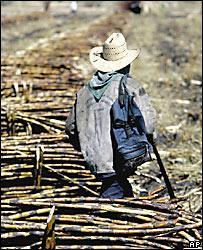 Trabajador junto a cañas de azúcar en México.