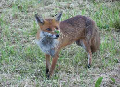 This photograph of a fox with some clover on his nose was taken by Mr B Gray near Llansadwrn in Carmarthenshire