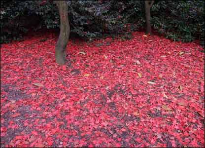 Nick Williams took this shot of the fallen red leaves at Cefn Onn park