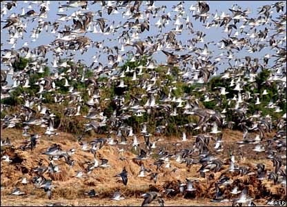 Hundreds of ruff birds take flight over fields near Thol Birds Sanctuary, Mehsana district, in the western Indian state of Gujarat