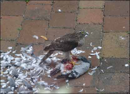 Ronald Wane took this amazing shot of a sparrowhawk and prey in his front garden
