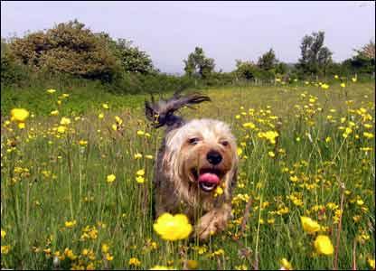 Toby enjoying a run, by Dennis Aronwich in Colwyn Bay