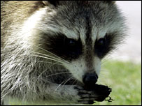 A racoon