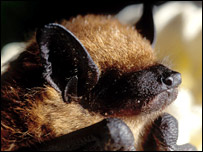 Big brown bat (Maarten Vonhof)
