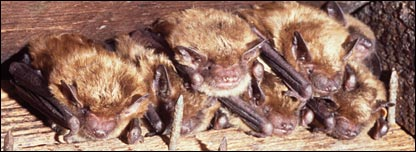 Big brown bats (Maartin Vonhof)