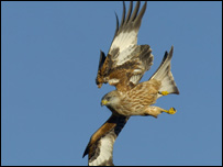 A red kite