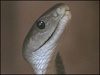 Spitting Cobra snake
