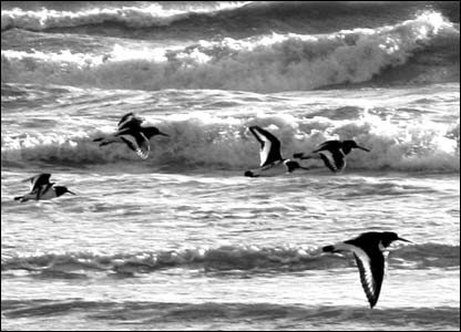 Oyster catchers in surf
