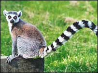 Lemur at Curragh's Wildlife Park