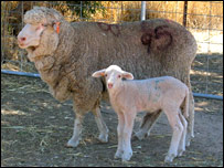 Huntington's lamb (UA/Griggs)