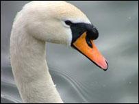 Swan (generic)