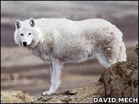 Arctic wolf   Image: David Mech