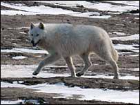 Arctic wolf (BBC)