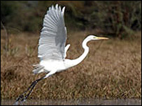 Great Egret at Bharatpur bird sanctuary
