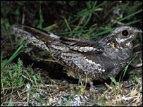 КОЗОДОЙ (Caprimulgus europaeus) Птицы / Козодои / Козодои настоящие.