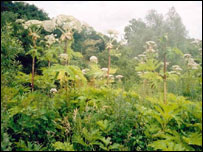 Giant hogweed on the River Usk (Picture Stuart Craxford)