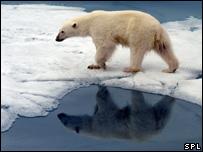 Polar bear (Image: SPL)