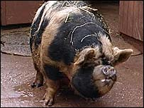 One of the farm's pigs