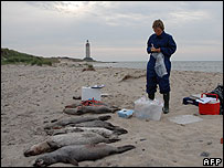 Dead seals on Anholt island, Denmark
