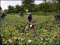 Policías erradican cultivo de amapola