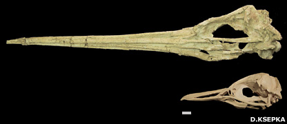 Skulls of  Icadyptes salasi and modern Peruvian penguin Spheniscus humboldti