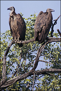 White-backed vultures (Image: Guy Shorrock/RSPB images)