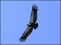 White-backed vulture (Image: Chris Gomersall/RSPB images)