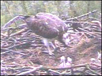 Female osprey feeding chicks