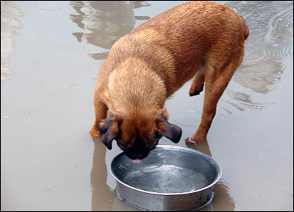 Eric the dog sipping water.