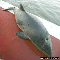 Dead porpoise. Image: Getty