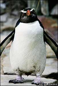 Munro, a male Fiordland Crested Penguin, at Taronga Zoo, Sydney