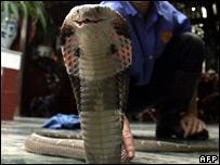Cobra snake (file image)