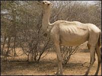 A camel in Somalia