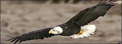 Bald eagle (file picture)