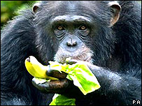 Chimp eating fruit and vegetables