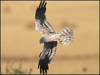 Montagu's harrier courtesy of Roger Tidman (rspb-images.com)