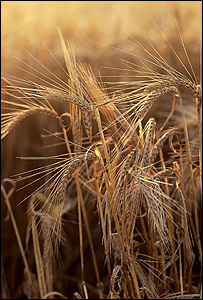Barley (Image: National Non-Food Crops Centre)