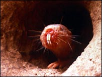 Photo of naked mole-rat, courtesy of Neil Bromhall