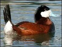 Ruddy duck - pic supplied by MEN Syndication