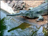 Gharial. File photo