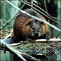 Beaver (C. Stephens)