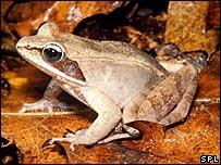 Wood frog ((John M. Burnley/ Science Photo Library)