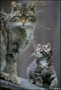 Scottish wildcat kitten and mother in captivity